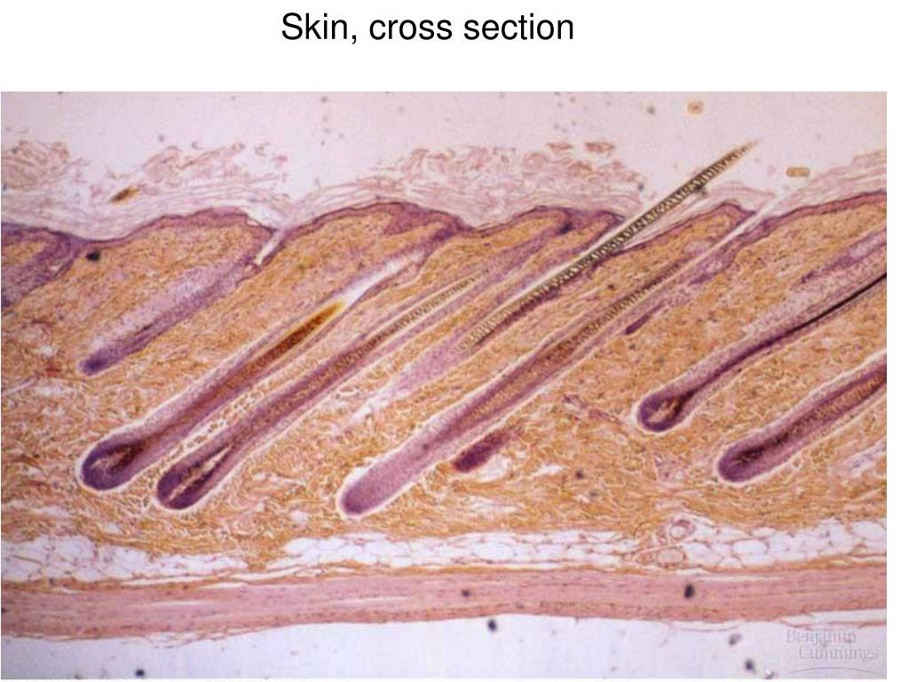 Skin, cross section