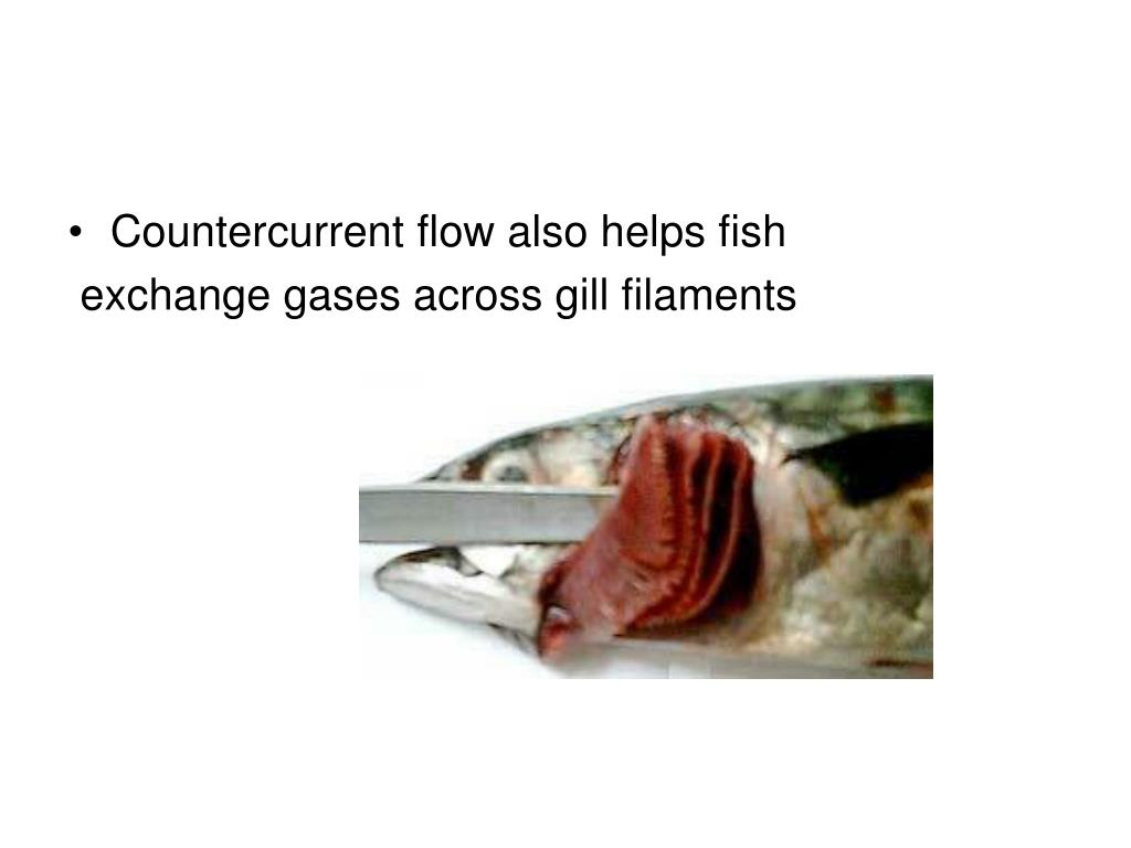 Countercurrent flow also helps fish