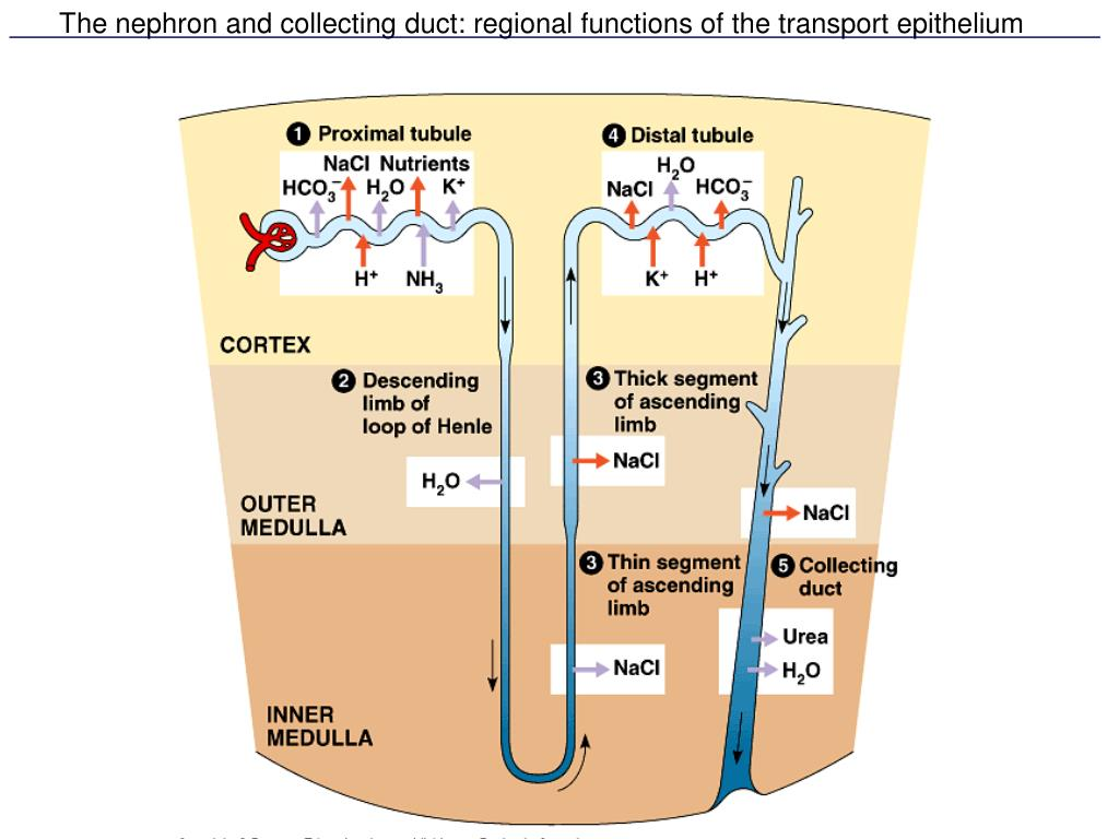 The nephron and collecting duct: regional functions of the transport epithelium
