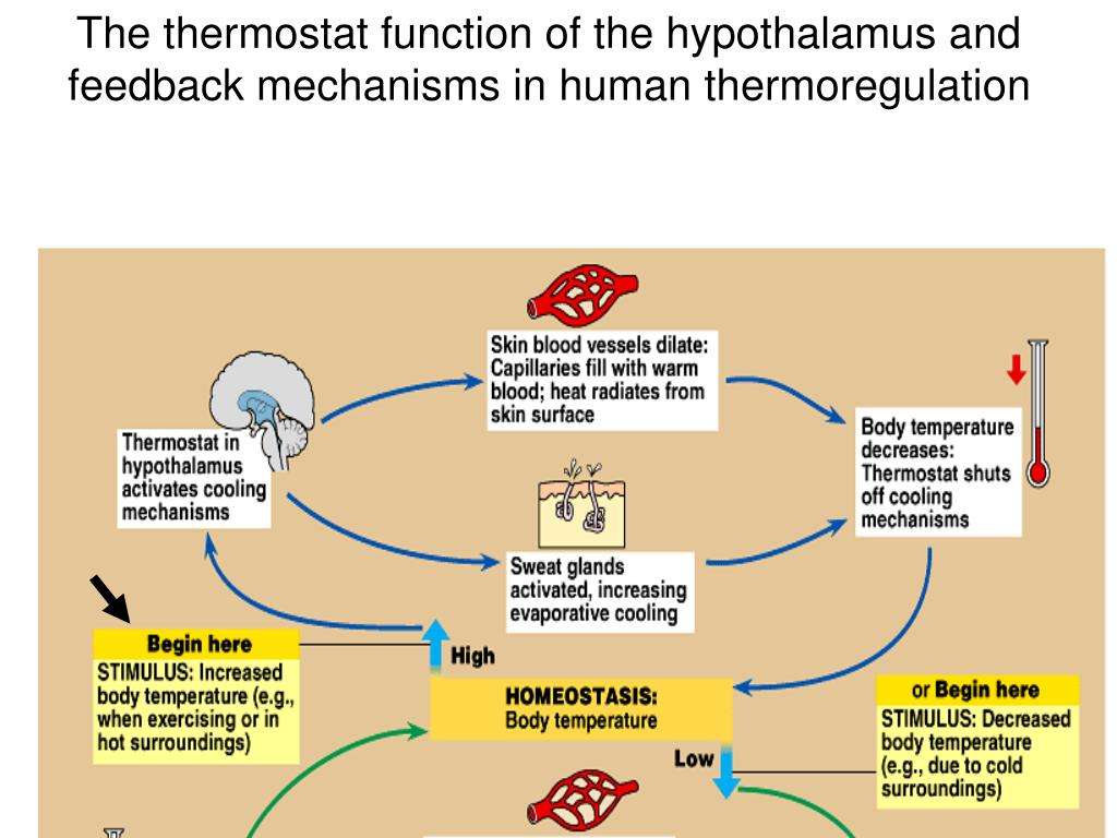 The thermostat function of the hypothalamus and feedback mechanisms in human thermoregulation