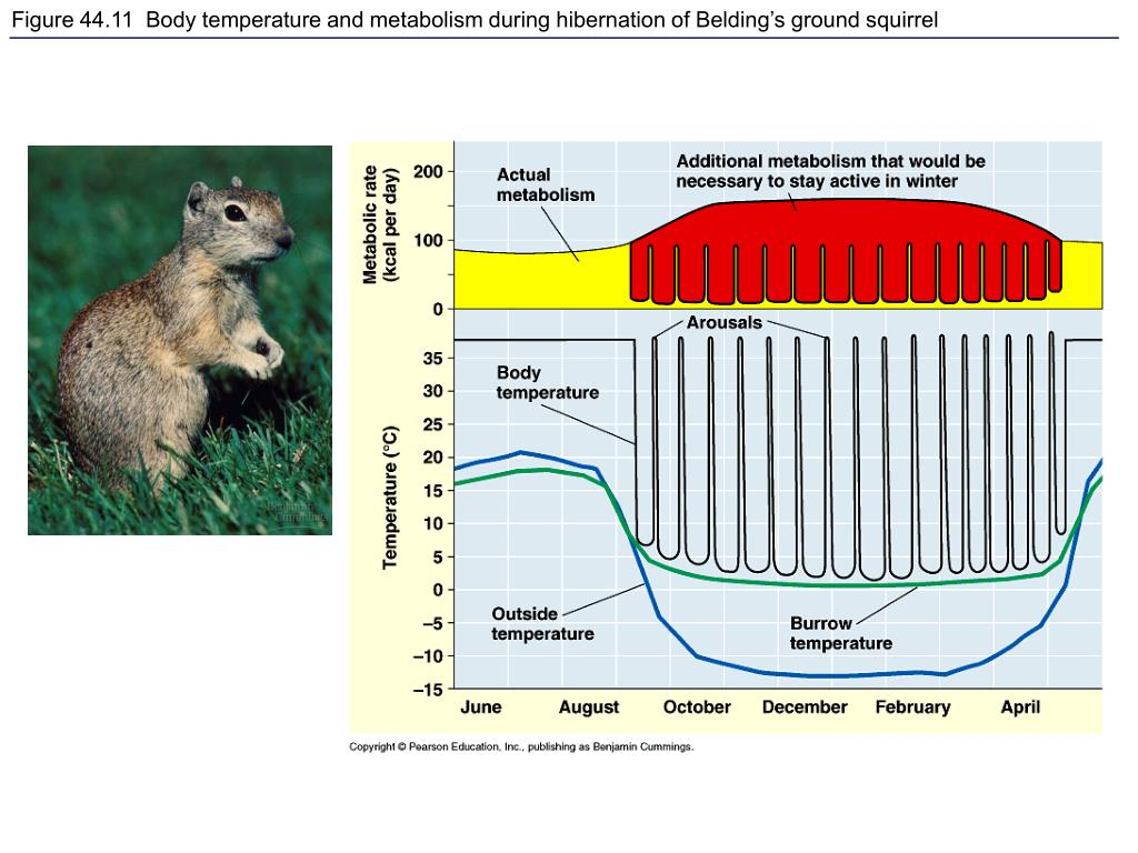 Figure 44.11  Body temperature and metabolism during hibernation of Belding's ground squirrel