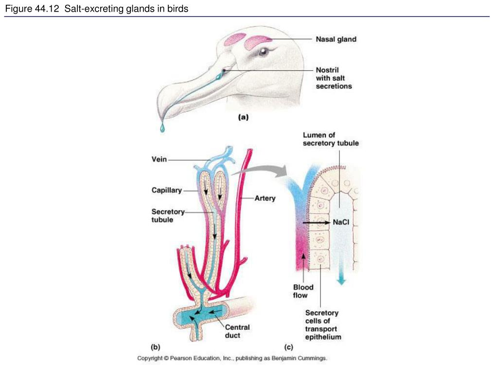 Figure 44.12  Salt-excreting glands in birds