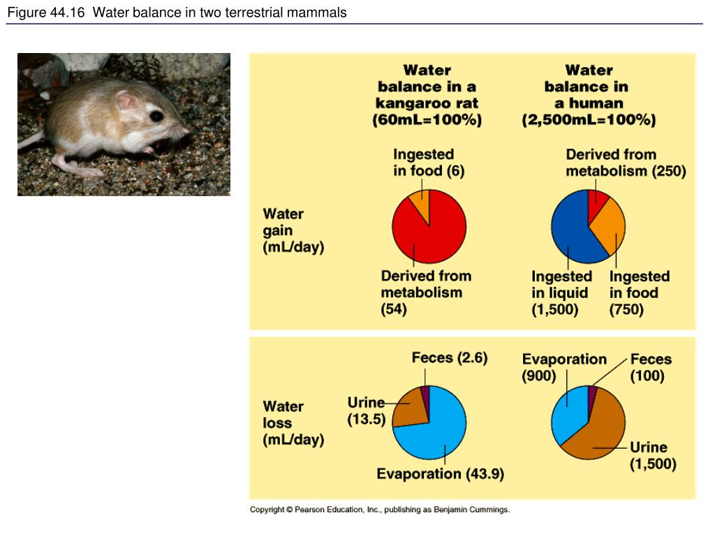 Figure 44.16  Water balance in two terrestrial mammals