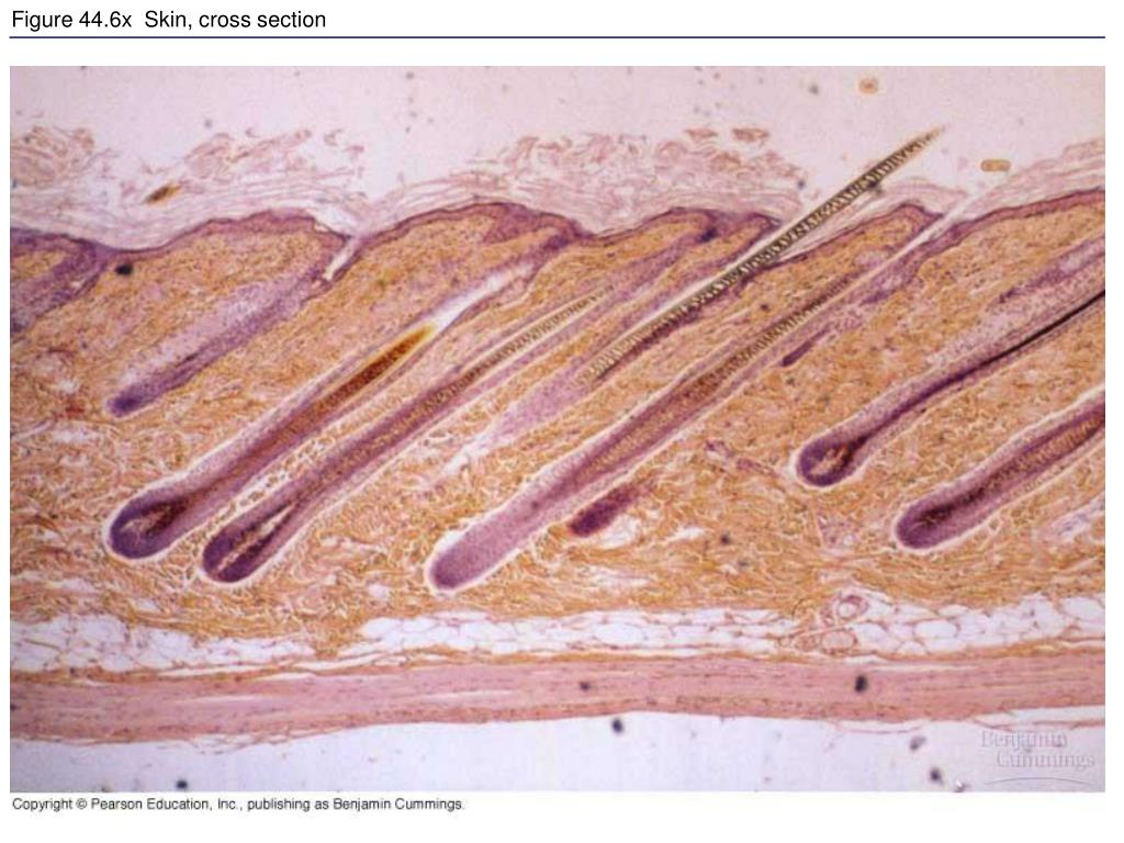 Figure 44.6x  Skin, cross section