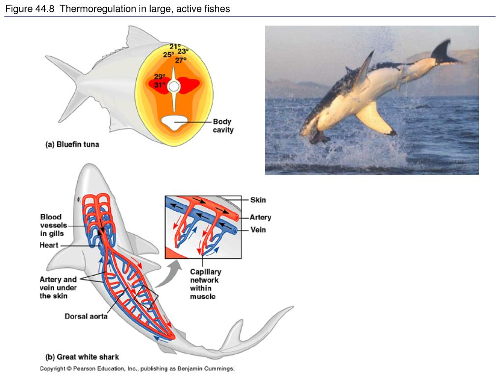 Figure 44.8  Thermoregulation in large, active fishes