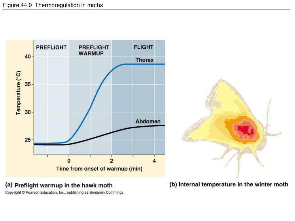 Figure 44.9  Thermoregulation in moths