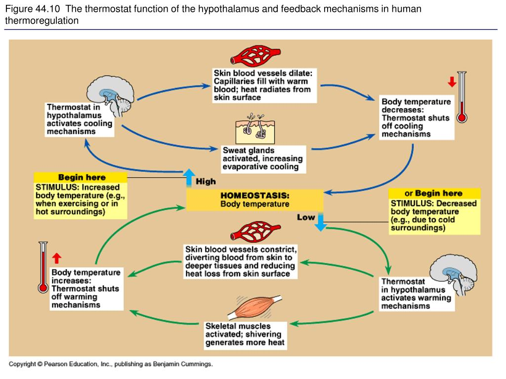 Figure 44.10  The thermostat function of the hypothalamus and feedback mechanisms in human thermoregulation
