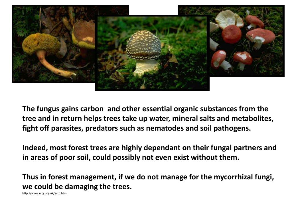 The fungus gains carbon and other essential organic substances from the tree and in return helps trees take up water, mineral salts and metabolites, fight off parasites, predators such as nematodes and soil pathogens.