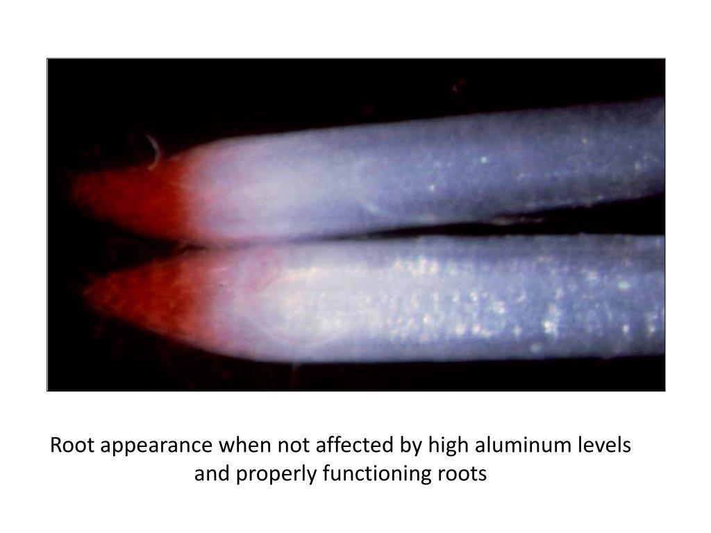 Root appearance when not affected by high aluminum levels and properly functioning roots