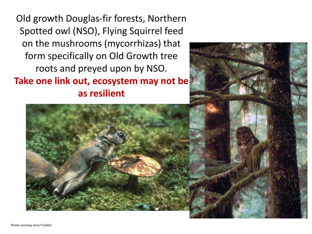 Old growth Douglas-fir forests, Northern Spotted owl (NSO), Flying Squirrel feed on the mushrooms (mycorrhizas) that form specifically on Old Growth tree roots and preyed upon by NSO.