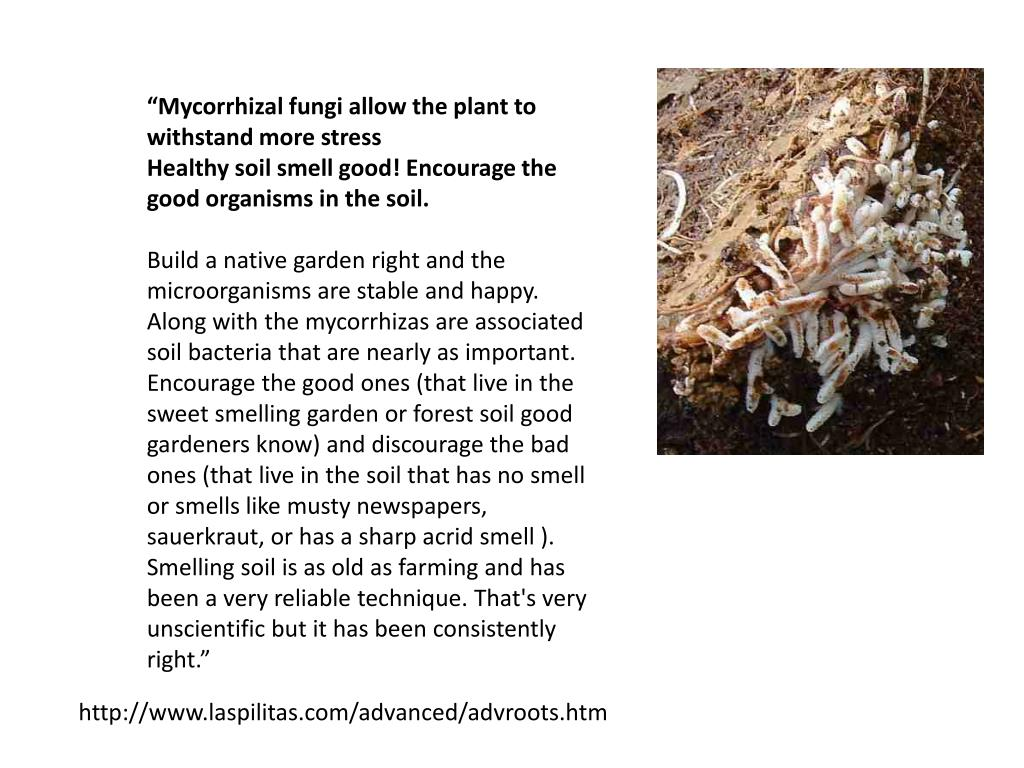 """""""Mycorrhizal fungi allow the plant to withstand more stress"""