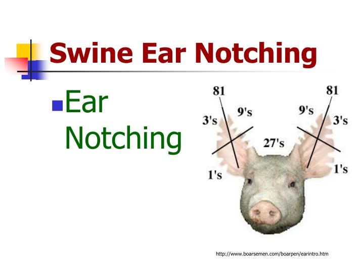 Ppt Swine Ear Notching Powerpoint Presentation Id722699