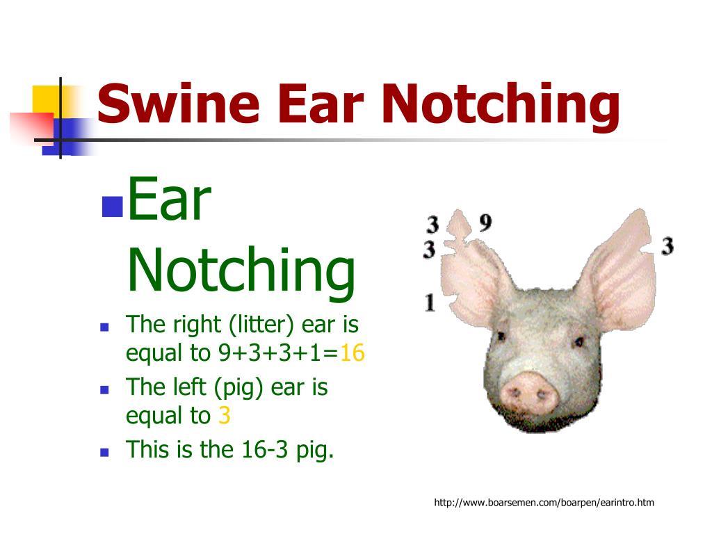 PPT - Swine Ear Notching PowerPoint Presentation - ID:722699