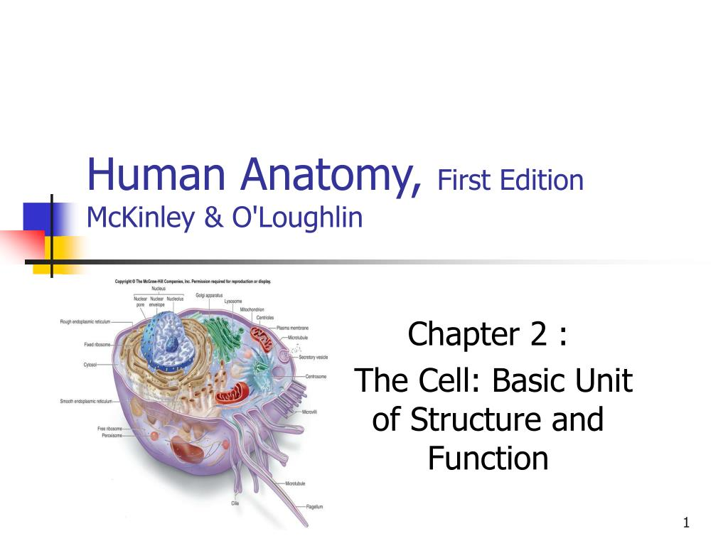 Ppt Human Anatomy First Edition Mckinley Oloughlin Powerpoint