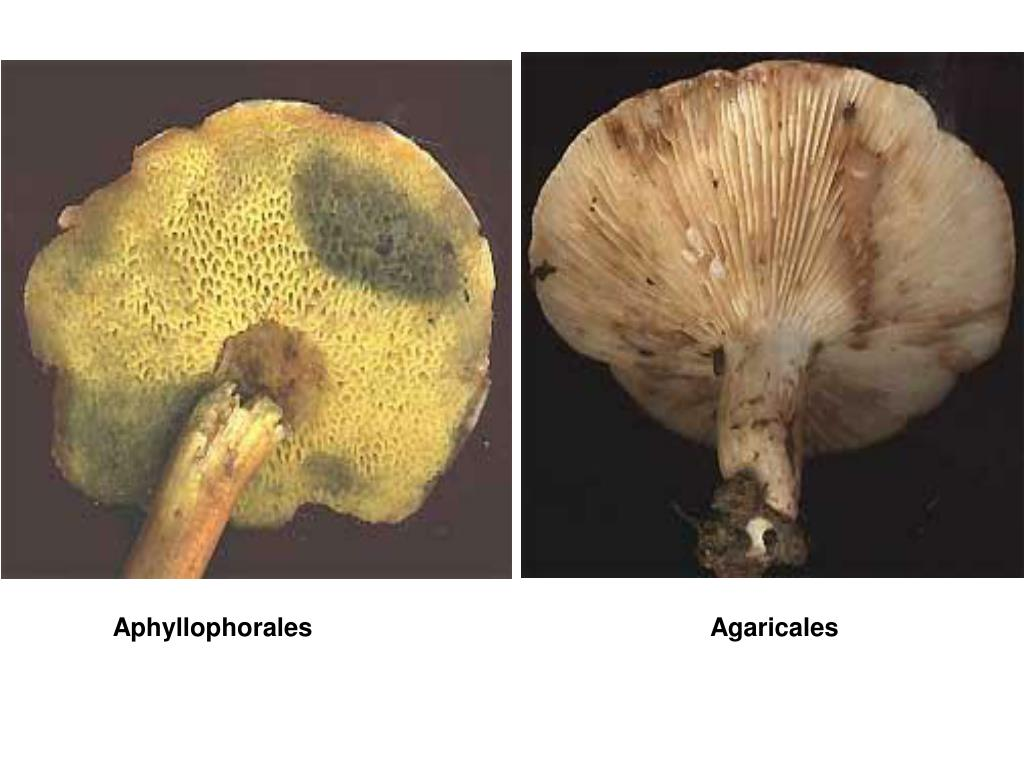 Aphyllophorales