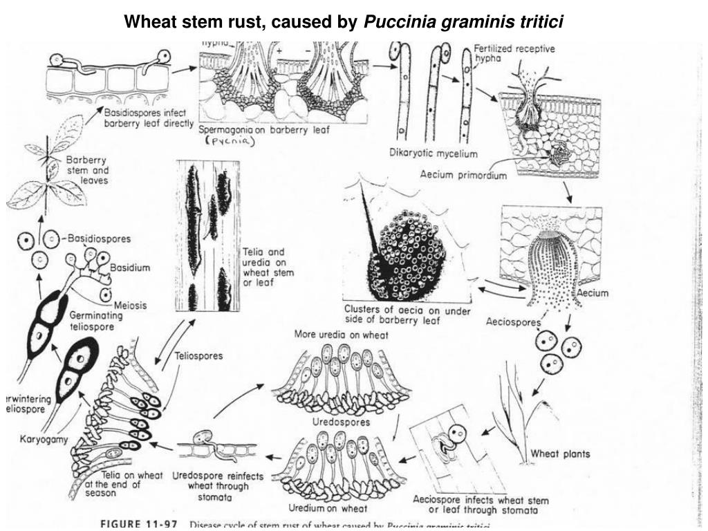 Wheat stem rust, caused by
