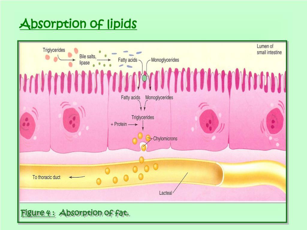 Absorption of lipids