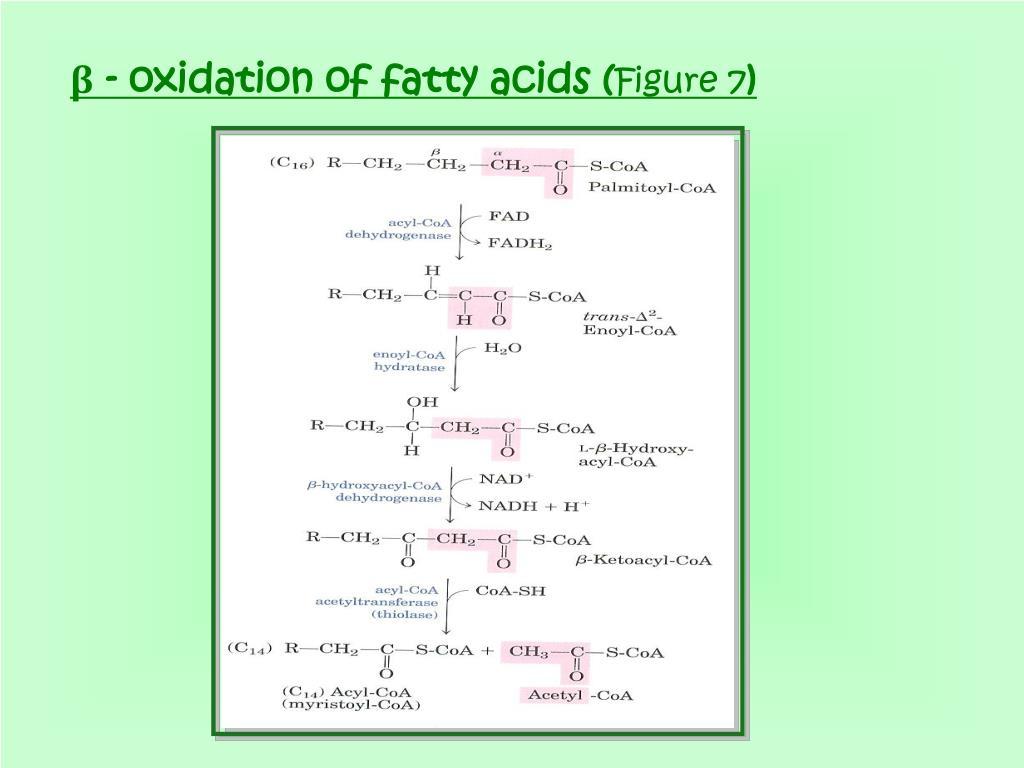 β - oxidation of fatty acids (