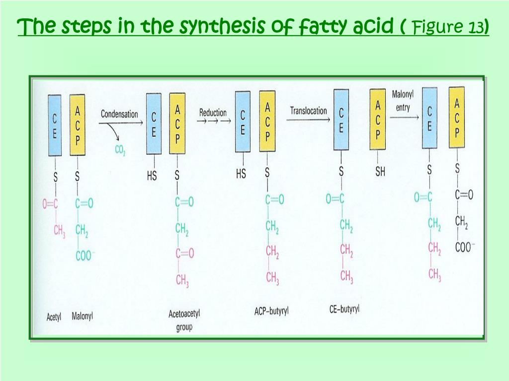The steps in the synthesis of fatty acid (