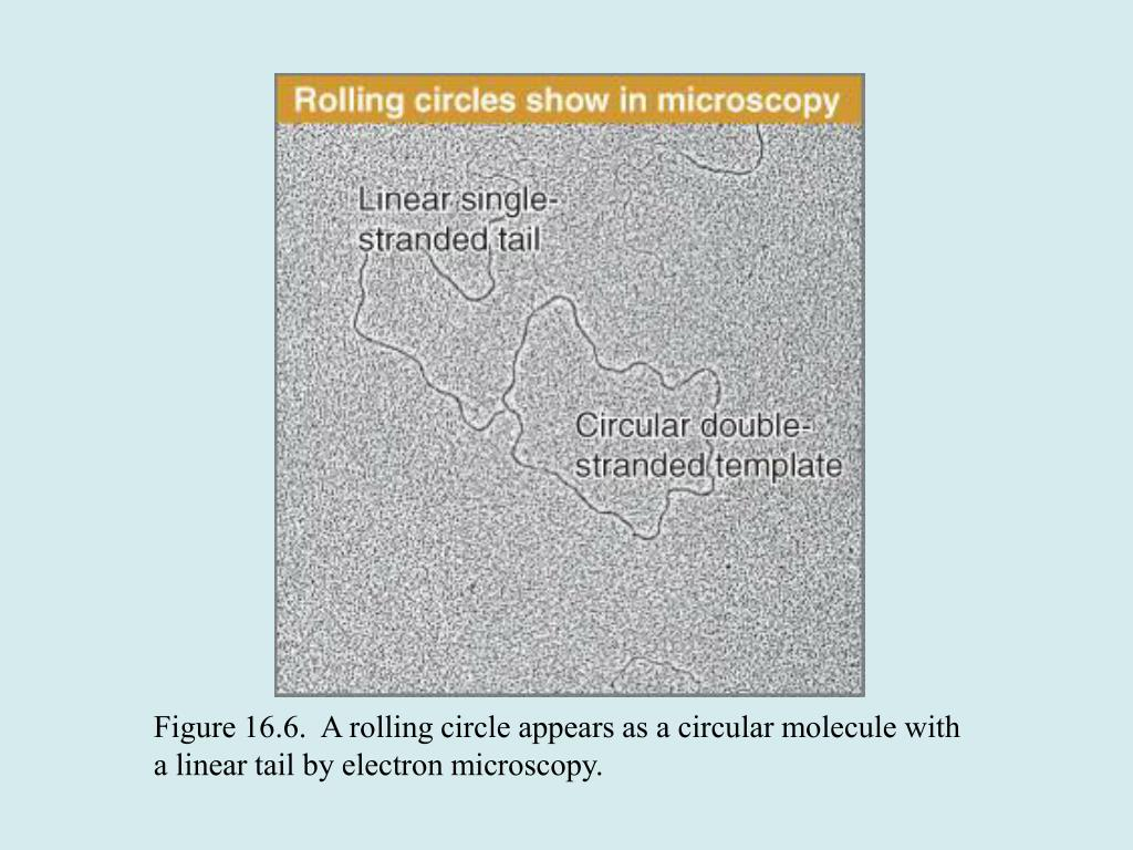 Figure 16.6.  A rolling circle appears as a circular molecule with a linear tail by electron microscopy.