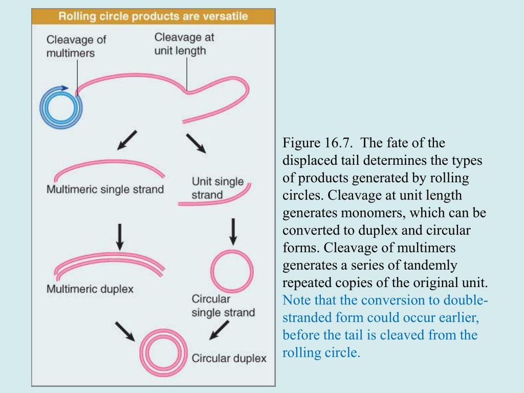 Figure 16.7.  The fate of the displaced tail determines the types of products generated by rolling circles. Cleavage at unit length generates monomers, which can be converted to duplex and circular forms. Cleavage of multimers generates a series of tandemly repeated copies of the original unit.