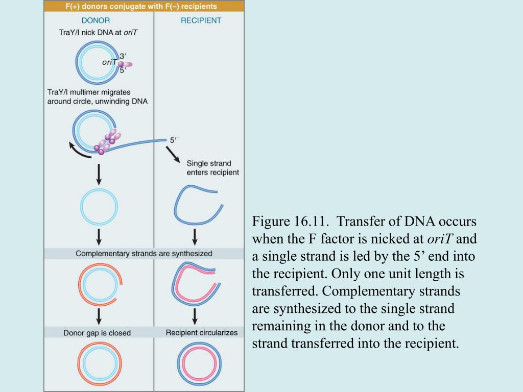 Figure 16.11.  Transfer of DNA occurs when the F factor is nicked at