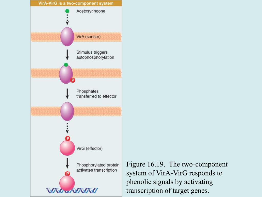 Figure 16.19.  The two-component system of VirA-VirG responds to phenolic signals by activating transcription of target genes.
