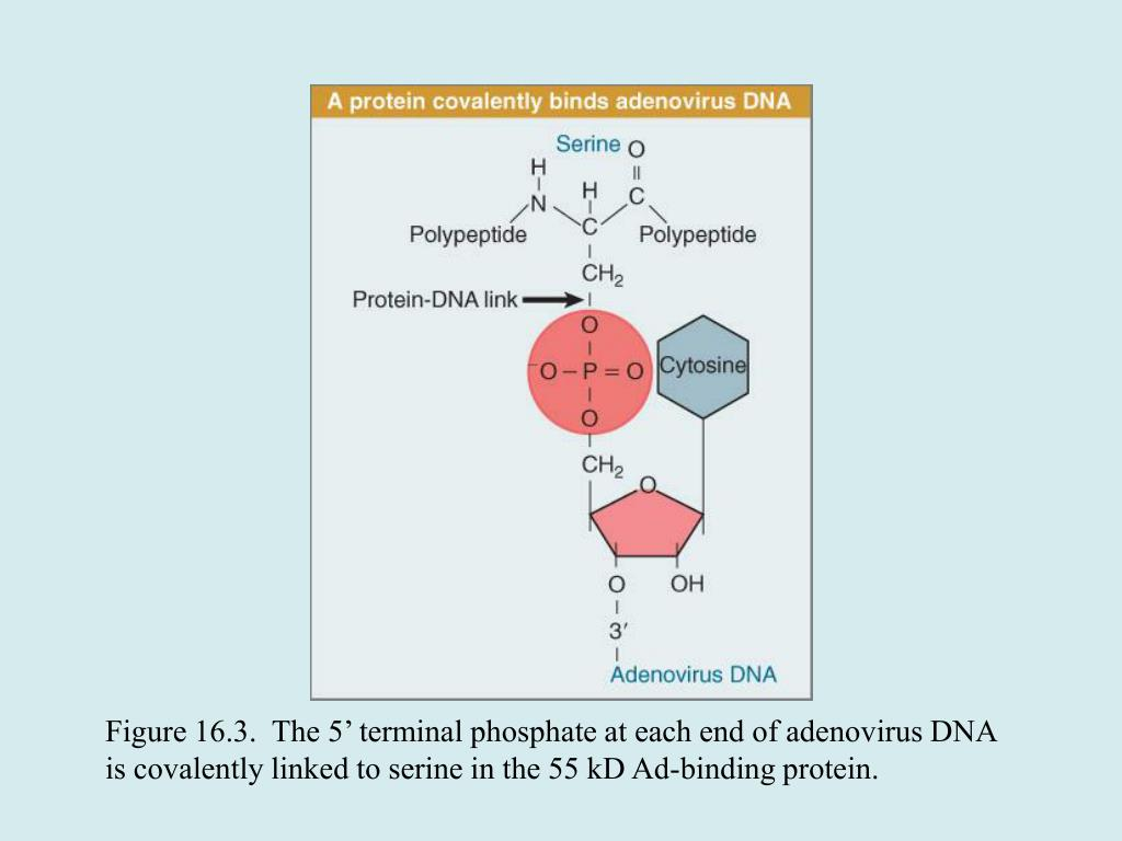 Figure 16.3.  The 5' terminal phosphate at each end of adenovirus DNA is covalently linked to serine in the 55 kD Ad-binding protein.