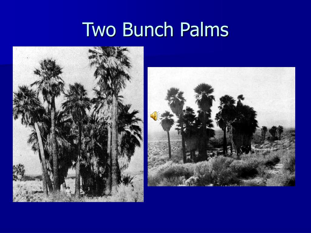 two bunch palms l.