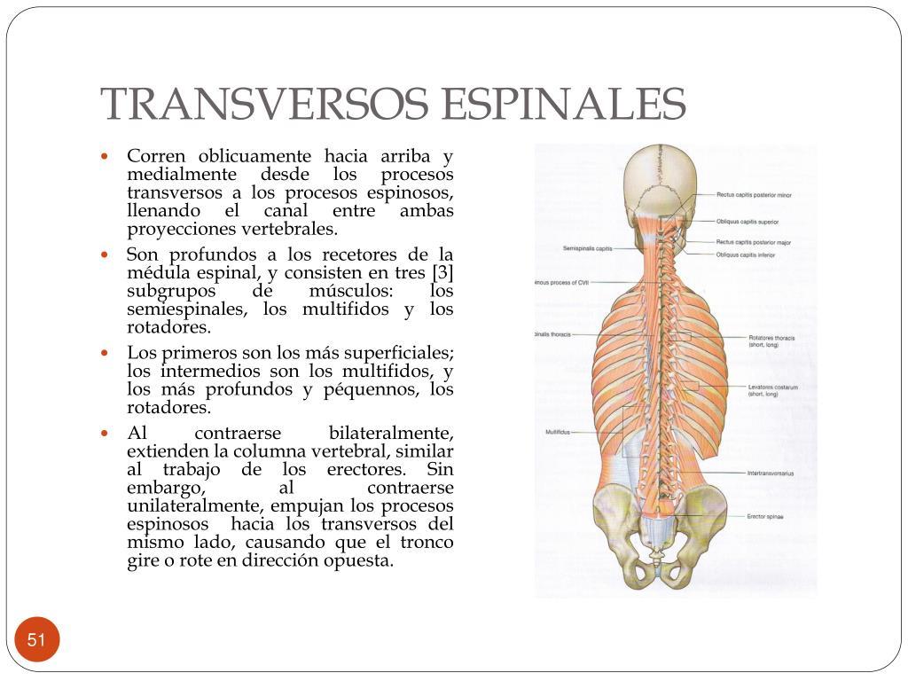 TRANSVERSOS ESPINALES