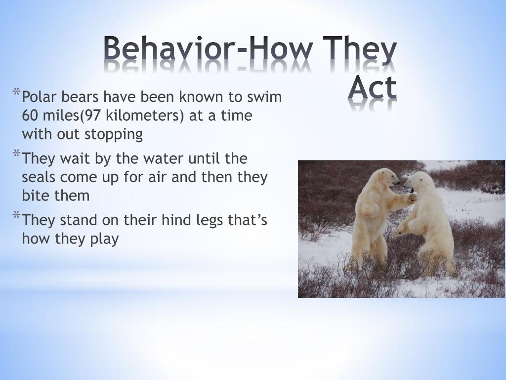 Polar bears have been known to swim 60 miles(97 kilometers) at a time with out stopping