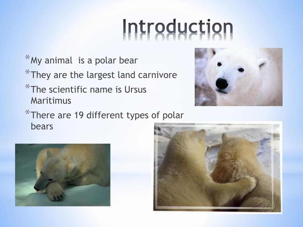 My animal  is a polar bear