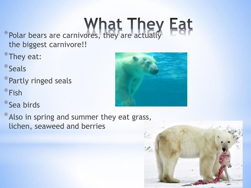 Polar bears are carnivores, they are actually the biggest carnivore!!