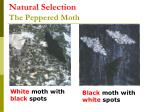 natural selection the peppered moth