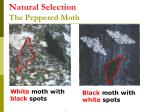 natural selection the peppered moth38