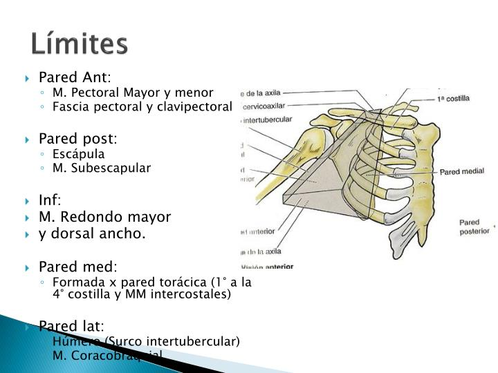 PPT - Anatomía qX de la región Axilar PowerPoint Presentation - ID ...