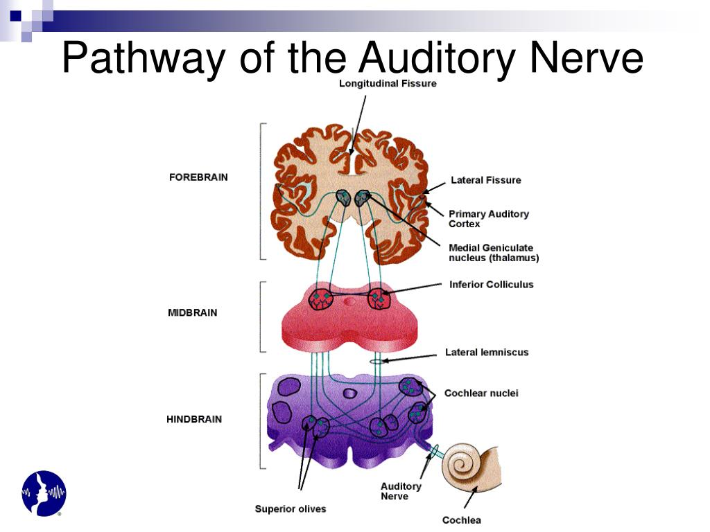 Pathway of the Auditory Nerve