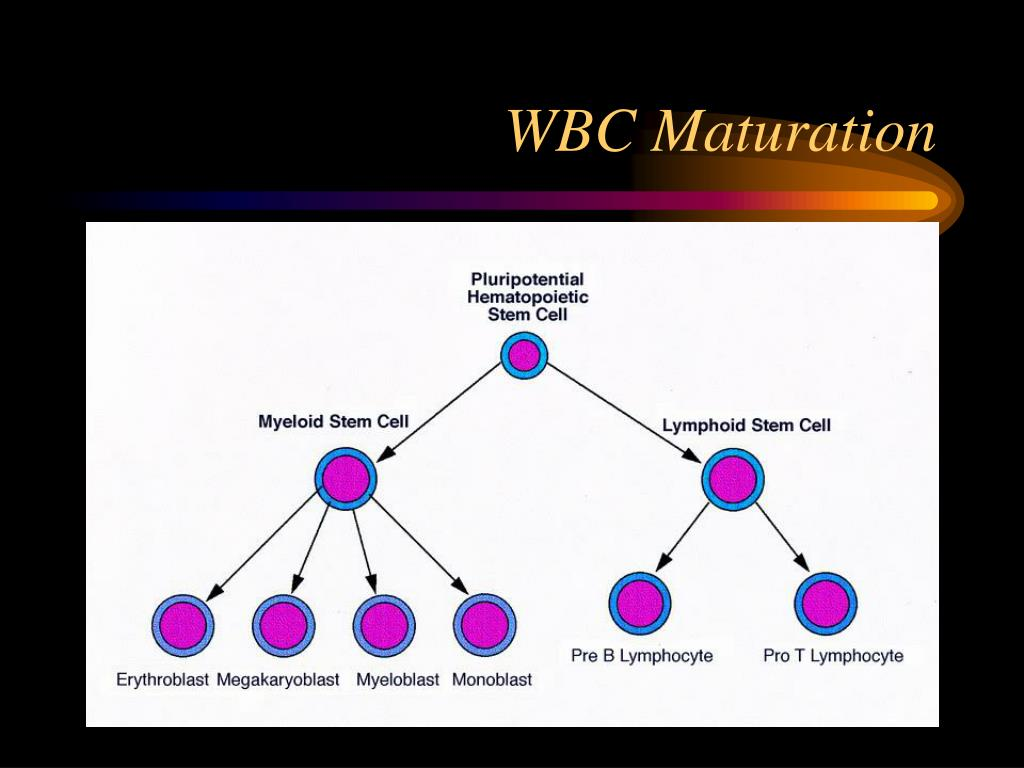 WBC Maturation