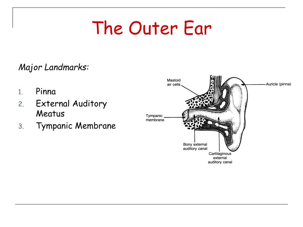 The Outer Ear