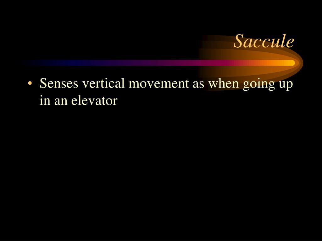 Saccule
