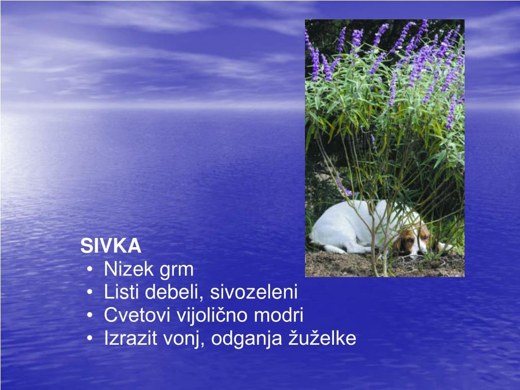 sivka nizek grm listi debeli sivozeleni cvetovi vijoli no modri izrazit vonj odganja u elke l.