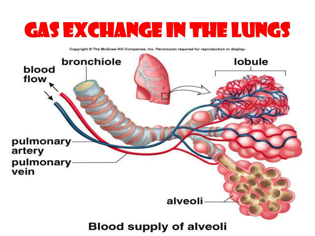 Gas Exchange in the Lungs