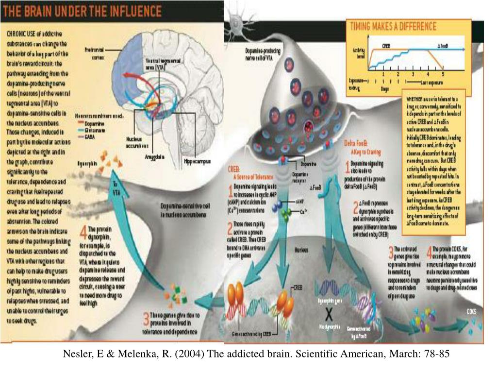 Nesler, E & Melenka, R. (2004) The addicted brain. Scientific American, March: 78-85
