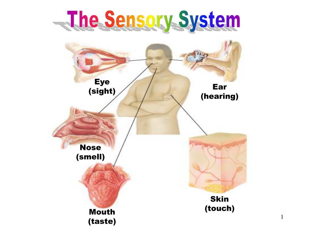 the sensory system l.