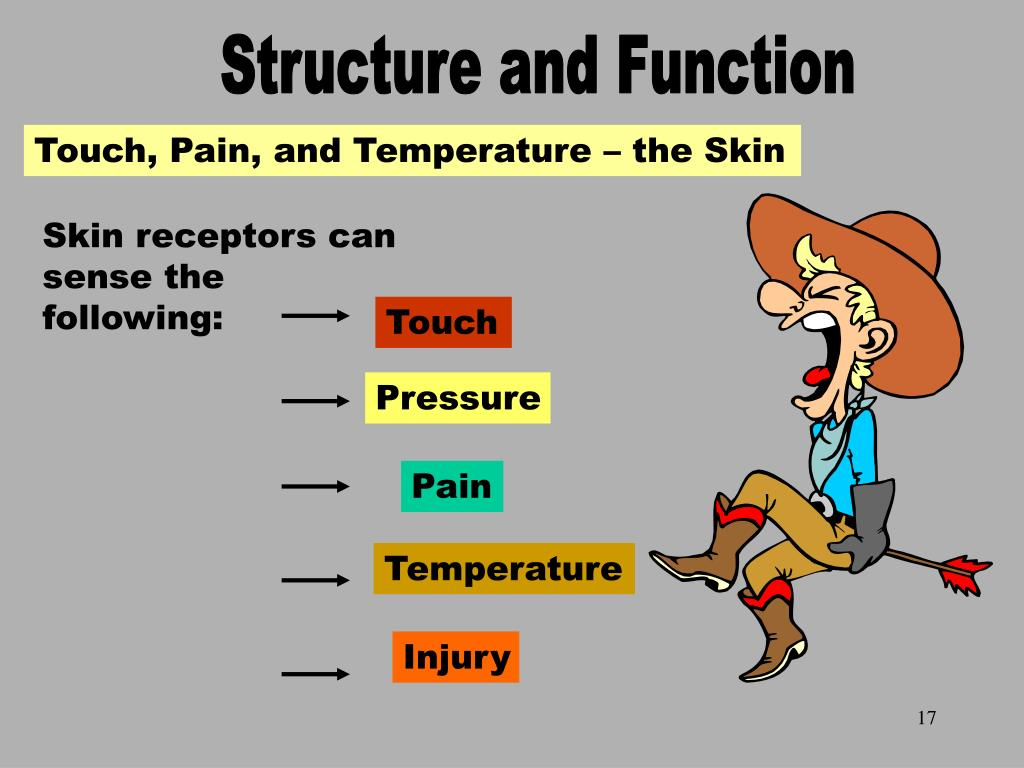 The Skin Receptors