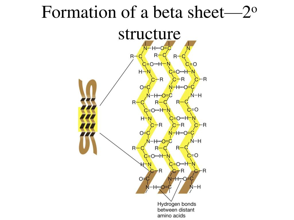 Formation of a beta sheet—2