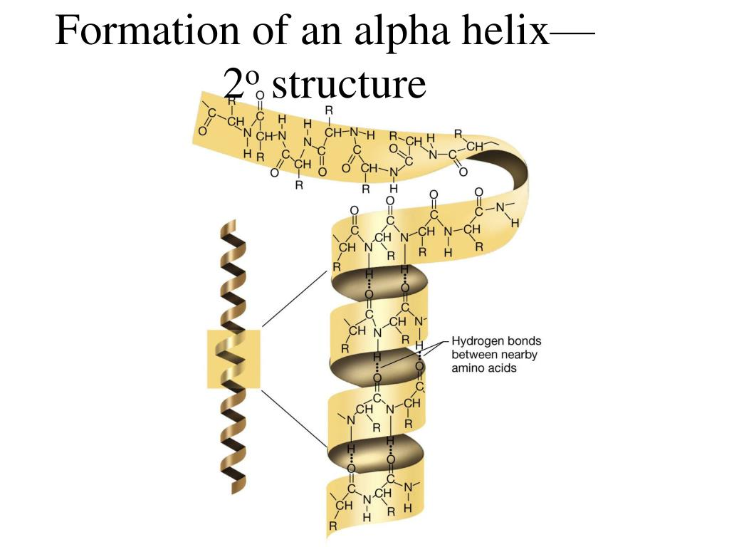 Formation of an alpha helix—2