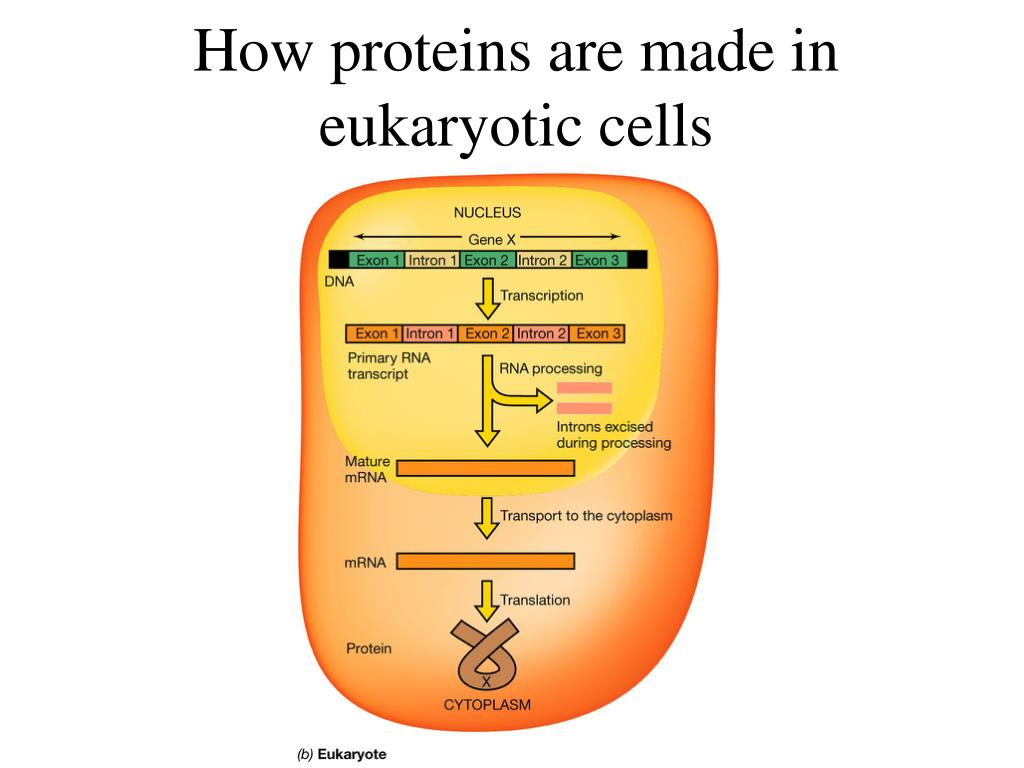 How proteins are made in eukaryotic cells