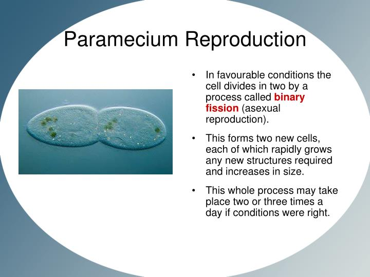 Paramecium Fission Slide