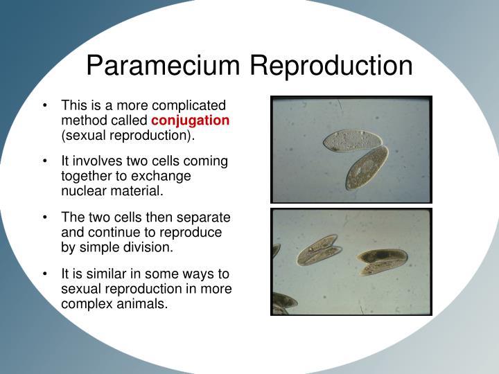 Paramecium sexual reproduction